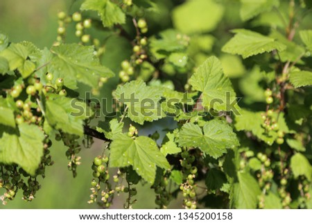 Fresh green leaves and green berries black currant shrub in spring #1345200158