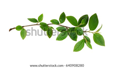 Fresh green leaves branch isolated on white background