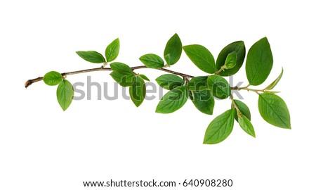 fresh green leaves branch...