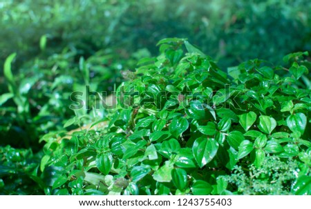 Fresh green leaves in the garden with backdrop. Close-up of evergreen bush in the nature. Freshness nature background. Leaf texture.