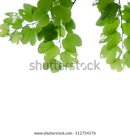 fresh green leaves isolated background
