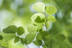 Fresh green leaves of Korean hornbeam tree (Carpinus tschonoskii)