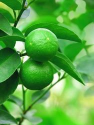 fresh green lemon on tree