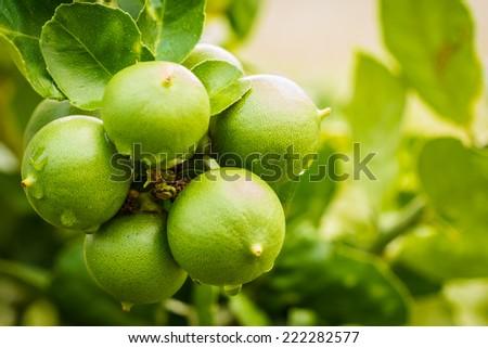 fresh green lemons in garden