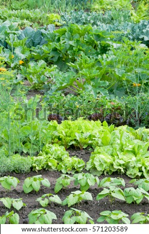 Fresh green lettuce and bush bean plants on a vegetable garden ground with other vegetables in the background. #571203589