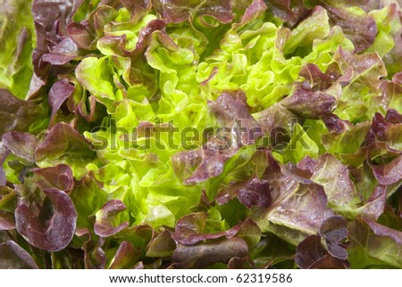 Fresh green Lettuce salad background