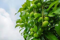 Fresh green mangoes on a mango tree. Mangifera indica L. Var.
