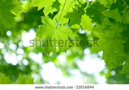 Fresh green maple leaves. Beautiful nature background