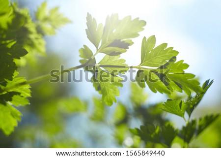 Fresh green organic parsley. Organic farm.