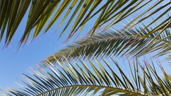 Fresh green palm leaf on clear blue sky background. Palm tree foliage texture. Striped leaves of exotic palm tree in Turkey. Tropical vacation backdrop. Summer abstract background.