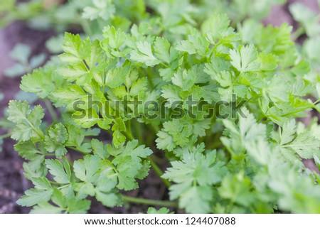 fresh green parsley growing in a garden