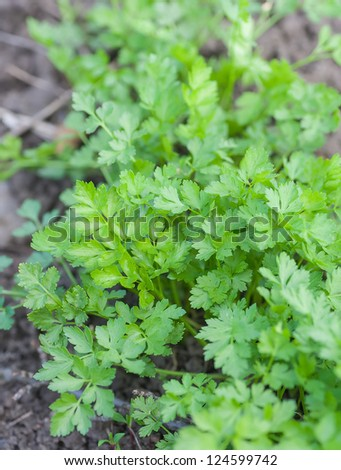 fresh green parsley growing in a garden