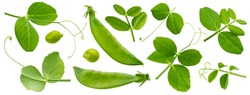 Fresh green pea leaves isolated on white background with clipping path, young pea pods collection, package design elements