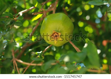 Fresh green pomegranate on a pomegranate tree in Turkey