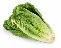 Fresh green Romaine  Lettuce (Lactuca sativa), isolated on the white background with light shadow