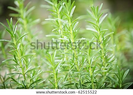Fresh green rosemary herbs growing in garden