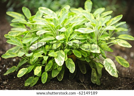 how to grow sage herbs