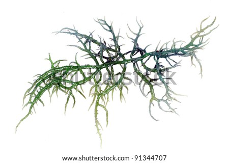 fresh green seaweed isolated on white background