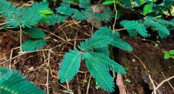 fresh green shame plant ( Mimosa pudica) Medicinal plant (Thottavadi) closeup shot