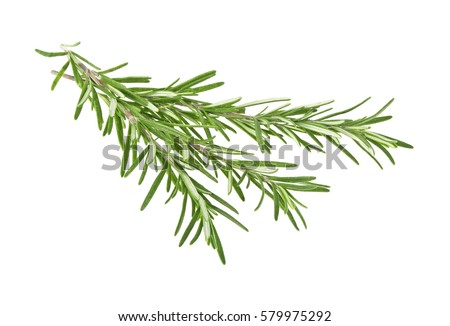 Fresh green sprig of rosemary isolated on a white background #579975292