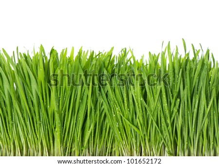 fresh green spring grass with water drops on white background