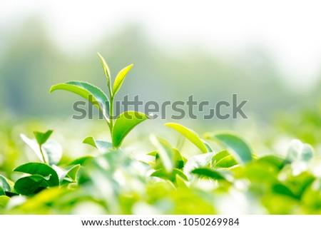 Fresh green tea bud in farm