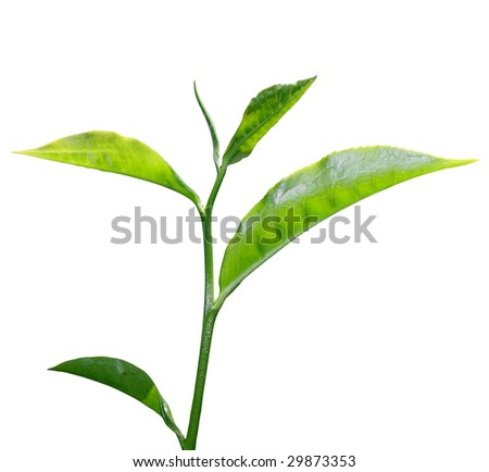 Fresh Green Tea Leaf Isolated On White Background Stock Photo ...