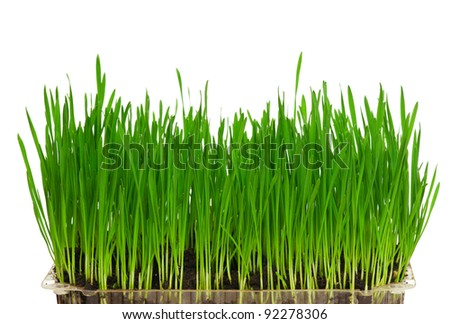 Fresh green wheat grass isolated on white background #92278306