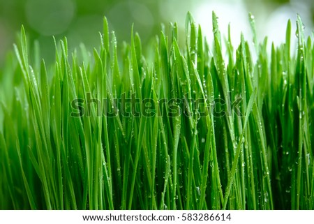 Fresh green wheat grass with drops dew, green background #583286614