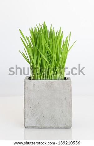 Fresh green wheatgrass growing in concrete pot. #139210556