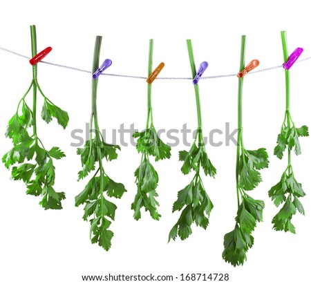 Fresh greens of a celery drying on the rope. Do stocks. Isolated - stock photo