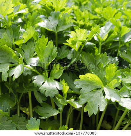 Fresh growing flat leaf parsley background.