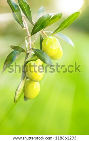 Fresh growing olives
