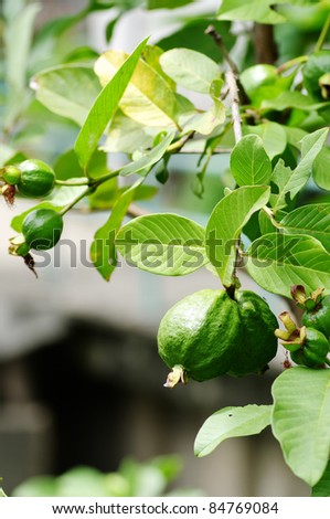 fresh guava on tree