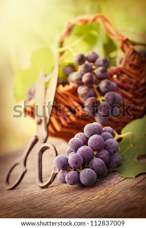 Fresh harvest of grapes. Vineyard theme with black grapes and basket on wooden background. Nature fruit concept.