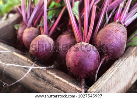 Fresh harvested beetroots in wooden crate, pile of homegrown organic beets with leaves on soil background
