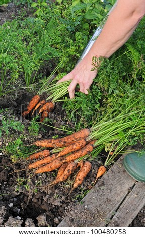 Fresh harvested carrots from the house garden