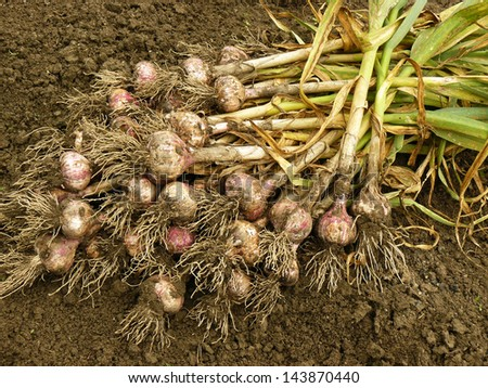 stock-photo-fresh-harvested-garlic-on-the-ground-143870440.jpg