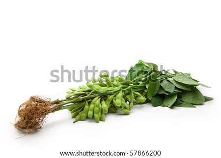Fresh harvested soybean (edamame) plant isolated on white