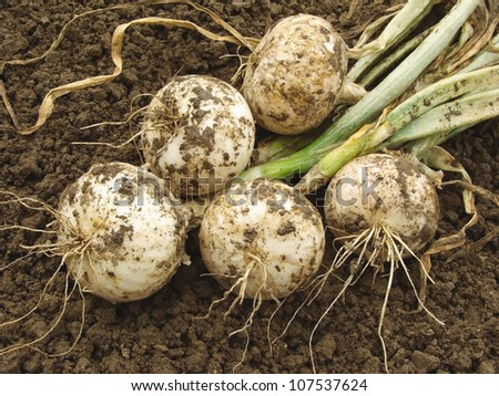 fresh harvested white onion bulbs