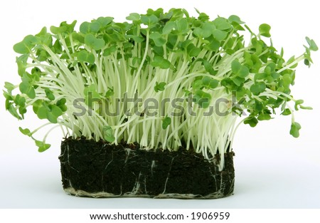fresh healthy green cress seeds, close up