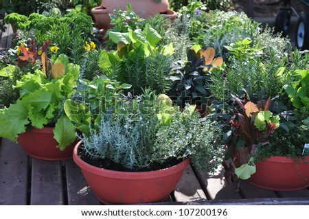Fresh herbs grown in compact containers suitable for backyard or patio gardening #107200196