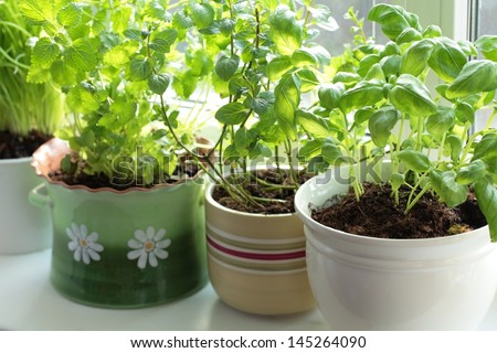 Fresh herbs in pots on a window (basil, mint, lemon balm and chives)