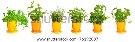 Fresh herbs in yellow pots.  Mint, basil, thyme,  parsley  oregano and coriander