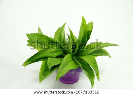 fresh  herbs with name wild garlic #1077133316