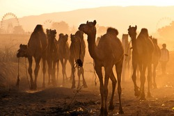 Fresh herd of camels arrive at the Pushkar fair grounds in the golden rays of sunrise