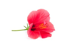 Fresh hibiscus flower isolated on white background. Focus point - flower core