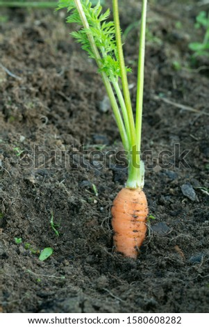 Fresh homegrown carrot sticking up from the ground