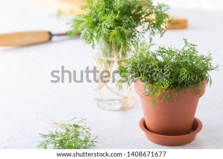 Fresh homegrown organic dill with roots in ceramic pot on gray background, plant, home gardening, close up, selective focus