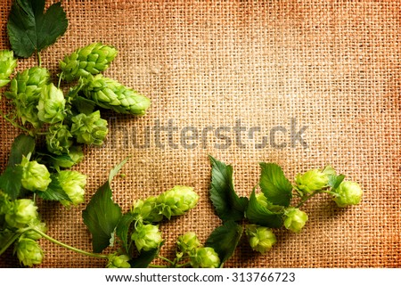 Fresh Hop on burlap close up. Green Hop cones with leaves over sack linen texture. Burlap background. Beer brewing concept. Brewery. Beer production ingredient. Copy space for your text